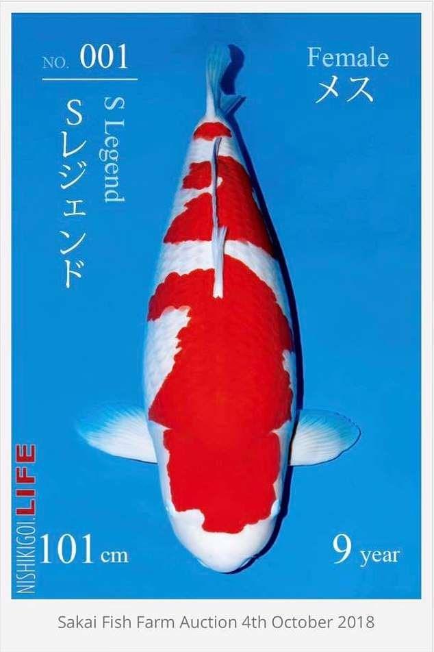Dân mạng giật mình với nàng cá Koi được bán với giá 42 tỷ đồng ở Nhật, chỉ dài hơn 1 mét mà đắt bằng cả chục căn chung cư - Ảnh 2.