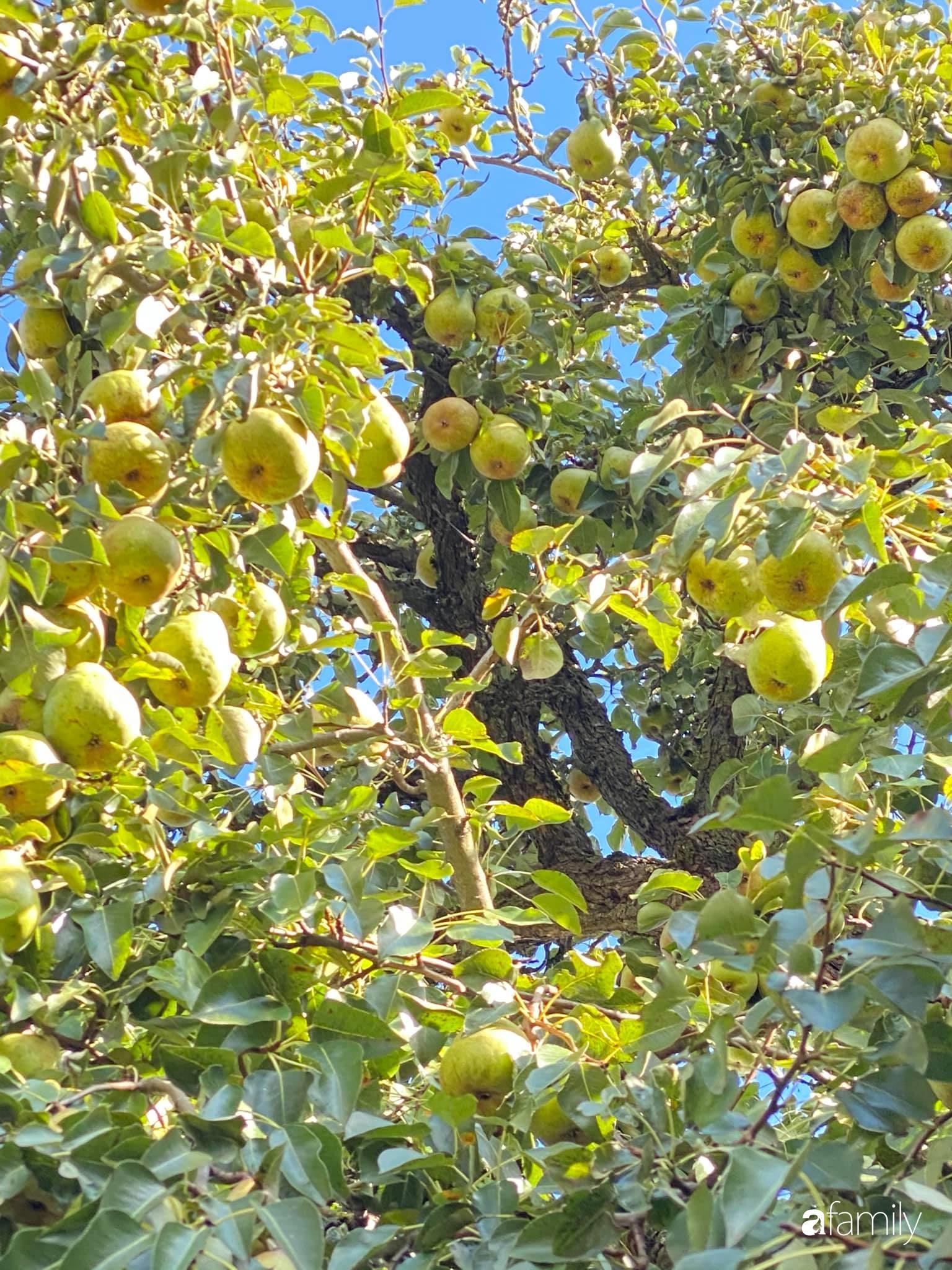 Khu vườn 200m² quanh năm xanh tươi với đủ loại rau quả sạch của mẹ Việt ở Đức - Ảnh 10.