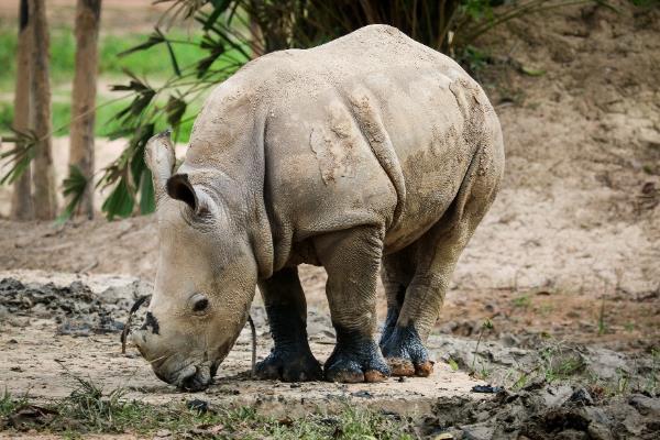 """Gặp gỡ những tê giác con """"quốc tịch Việt"""" ở Vinpearl Safari - Ảnh 2."""