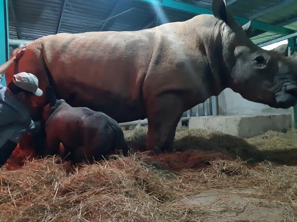 """Gặp gỡ những tê giác con """"quốc tịch Việt"""" ở Vinpearl Safari - Ảnh 3."""