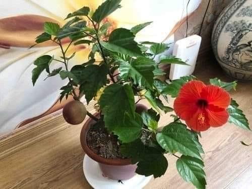 """Chán đào, quất ngày Tết, dân mạng """"đổi gió"""" sang chơi loạt cây bonsai chất lừ: Củ cải khổng lồ nở hoa tím biếc, táo lùn """"pha-ke"""" chi chít quả đỏ - Ảnh 17."""