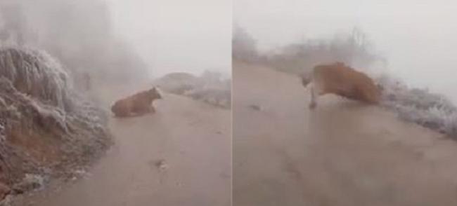 Clip: Hình ảnh chú bò liên tục ngã khuỵu trên đường trơn trượt do băng tuyết ở Lào Cai khiến nhiều người rơi nước mắt - Ảnh 2.