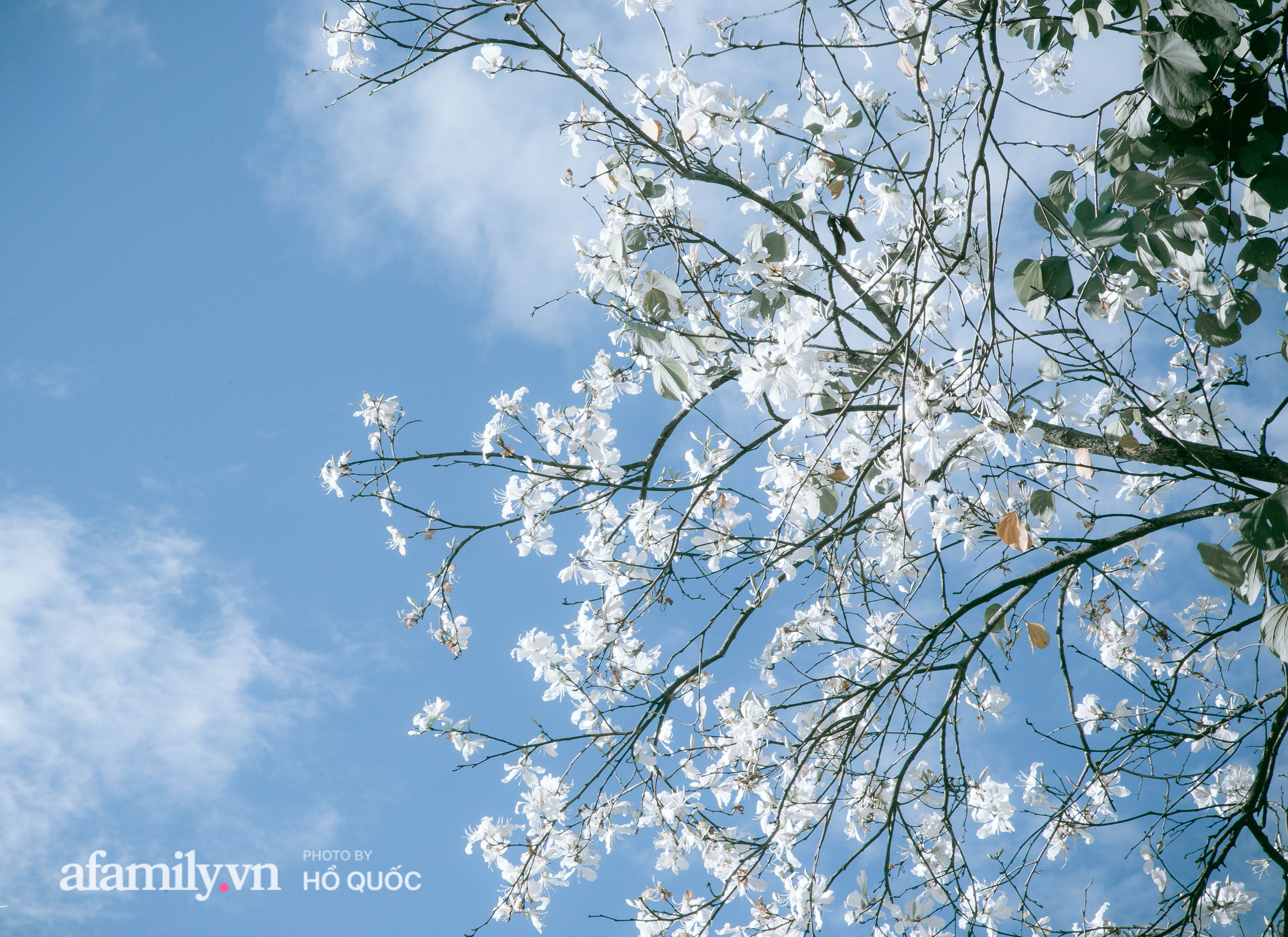 """Hoa ban trắng nở rộ, trời Đà Lạt như """"cô gái Tây Bắc e thẹn"""" báo hiệu một mùa xuân mới đến trong lành  - Ảnh 2."""