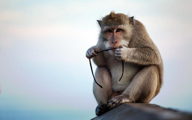 Khỉ Indonesia trấn lột du khách, muốn lấy đồ lại phải chuộc bằng thức ăn