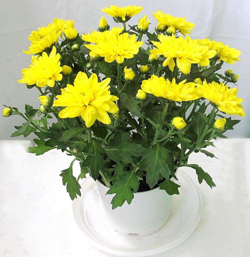 Ngày Tết nên chọn loại hoa, cây cảnh nào để đặt ở trong nhà? - Ảnh 8.