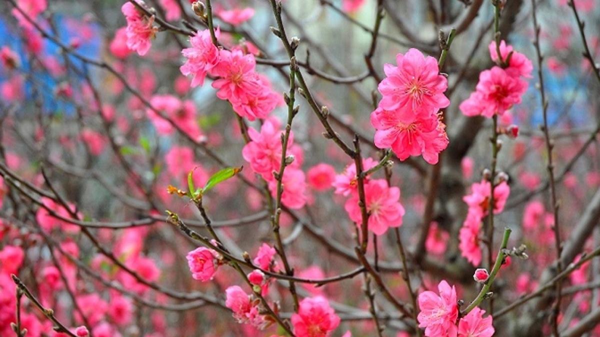 Ngày Tết nên chọn loại hoa, cây cảnh nào để đặt ở trong nhà? - Ảnh 3.