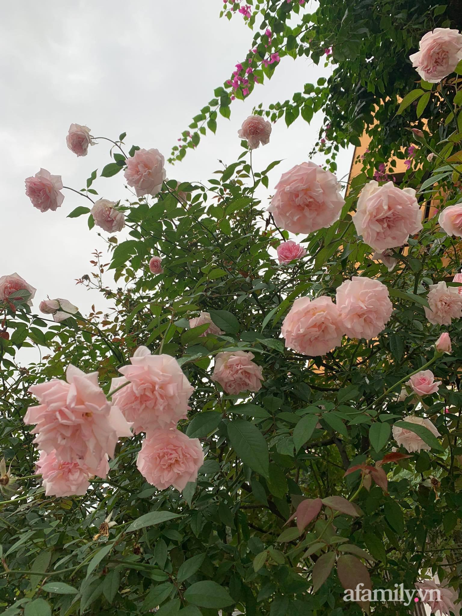 Ngôi nhà quanh năm rực rỡ sắc hương hoa hồng và đủ loại cây ăn quả ở Hà Nội - Ảnh 8.