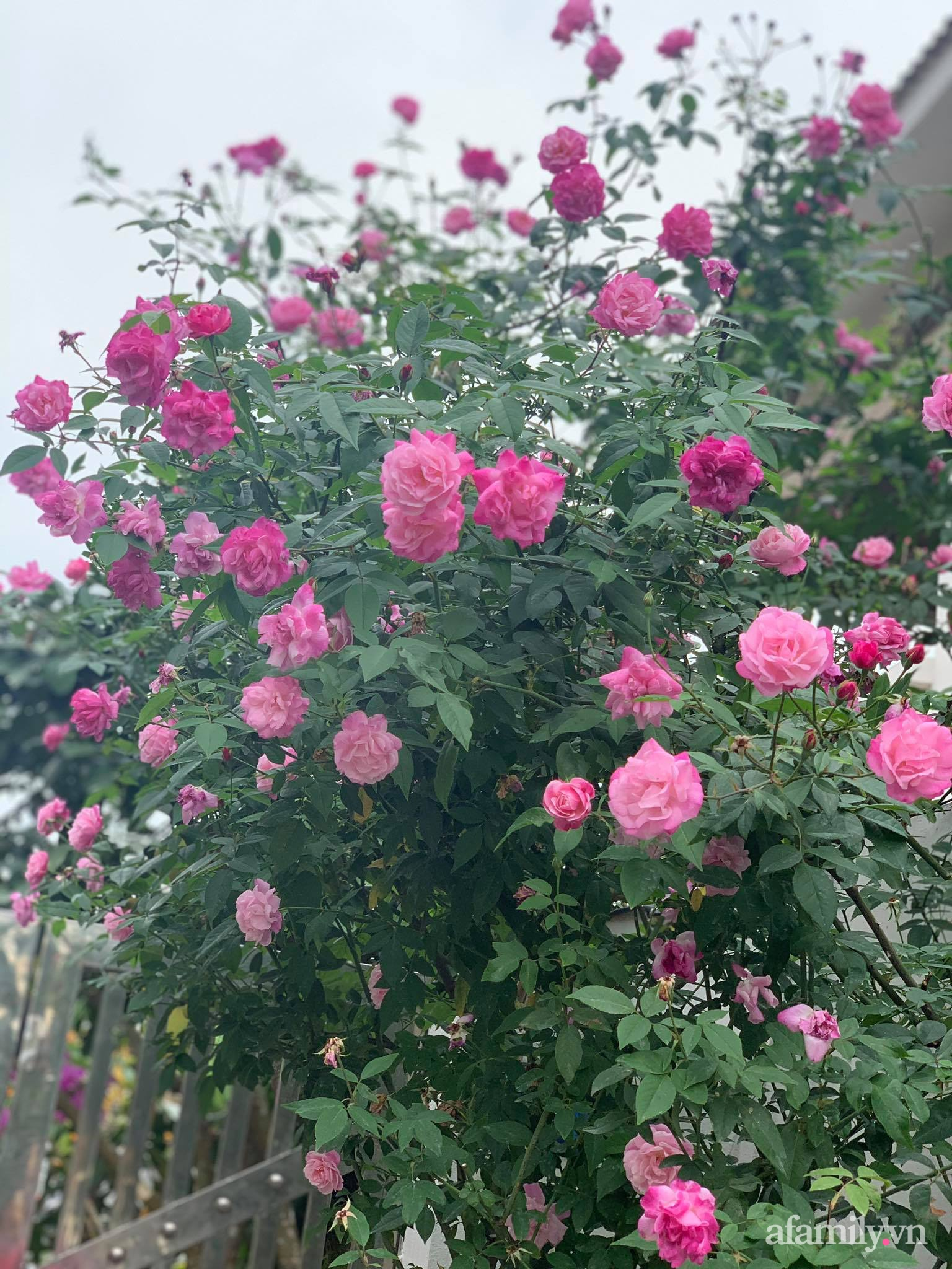 Ngôi nhà quanh năm rực rỡ sắc hương hoa hồng và đủ loại cây ăn quả ở Hà Nội - Ảnh 9.