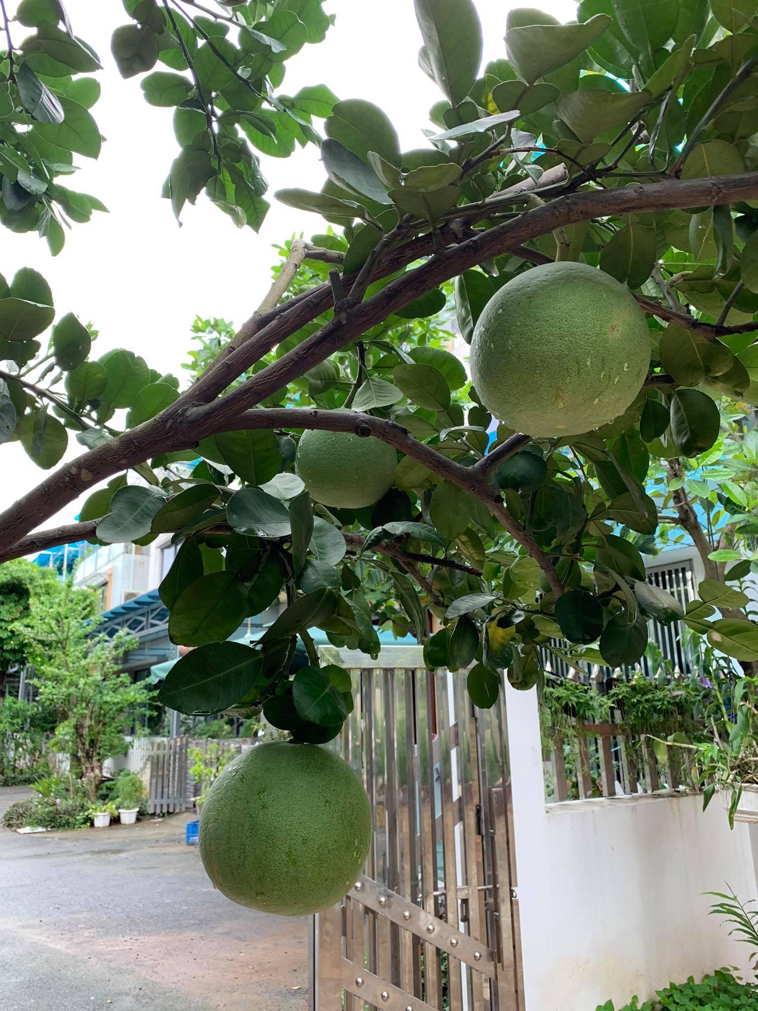 Ngôi nhà quanh năm rực rỡ sắc hương hoa hồng và đủ loại cây ăn quả ở Hà Nội - Ảnh 7.
