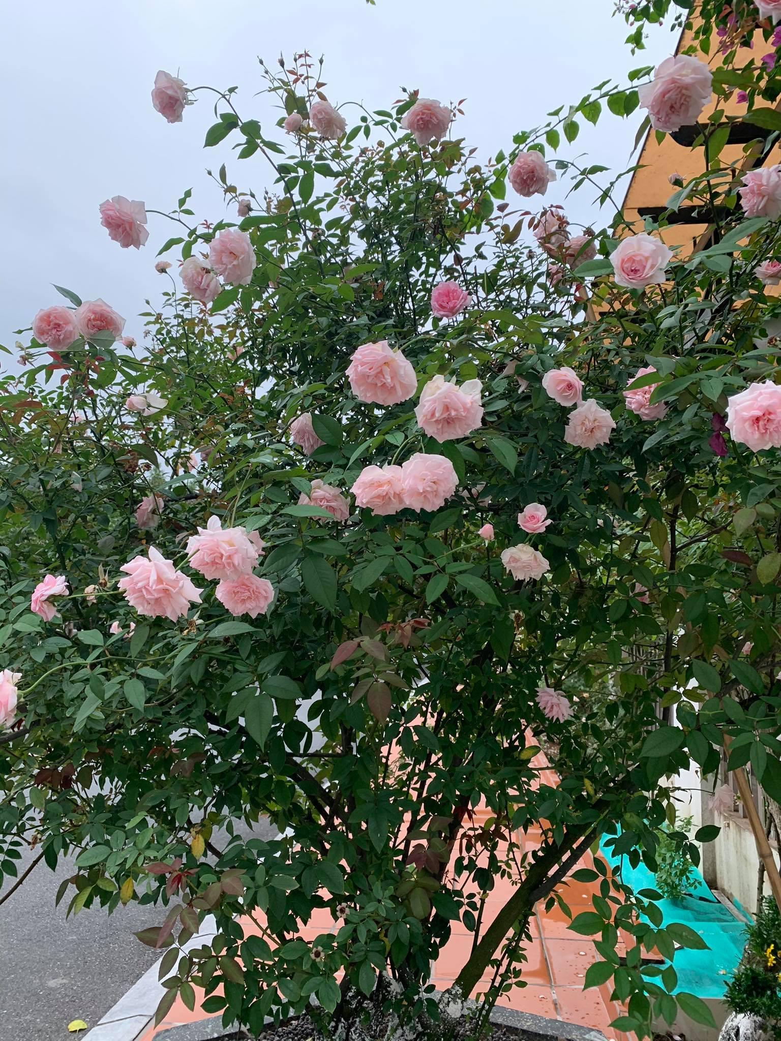 Ngôi nhà quanh năm rực rỡ sắc hương hoa hồng và đủ loại cây ăn quả ở Hà Nội - Ảnh 14.