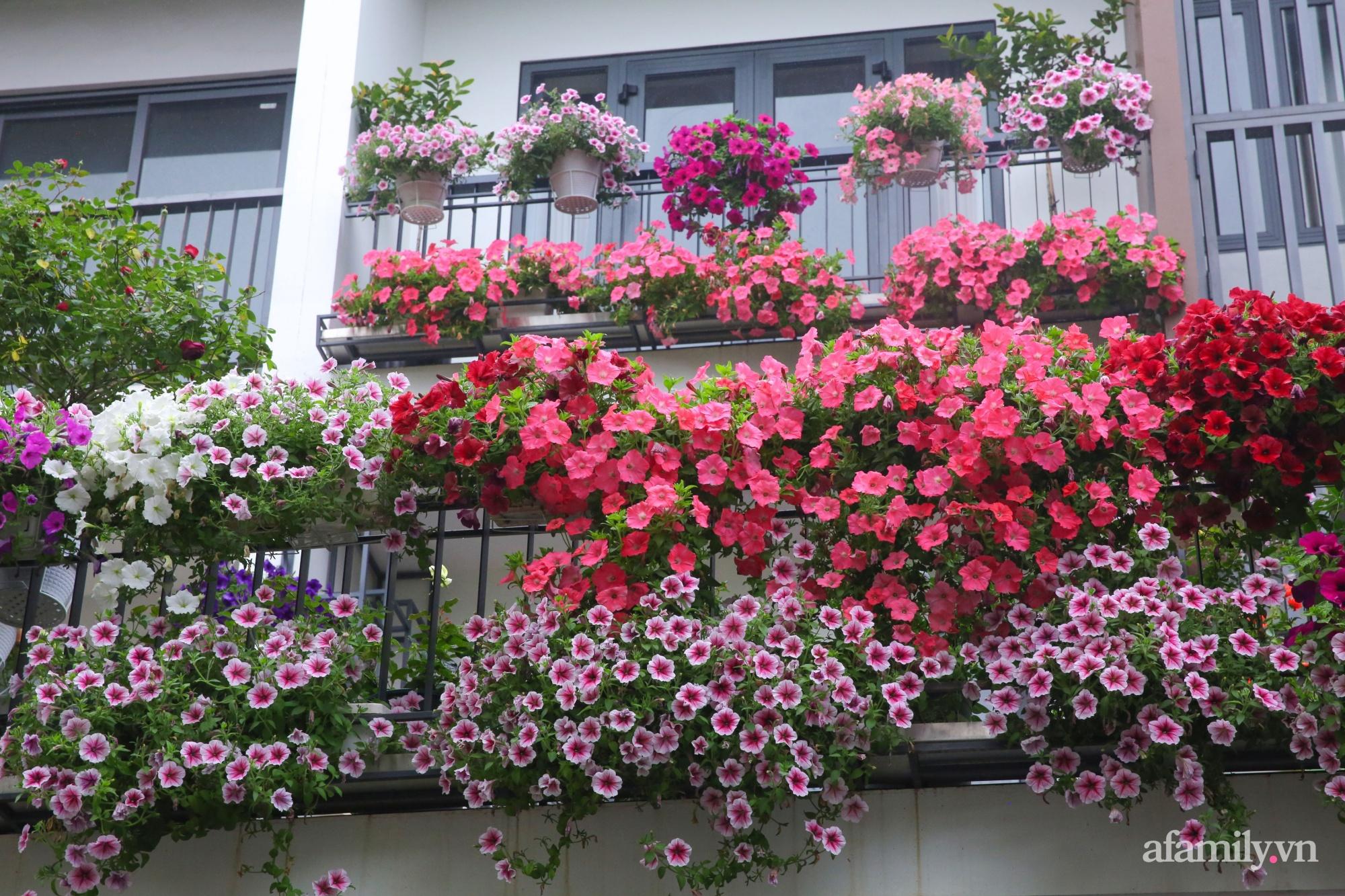 Kinh nghiệm trồng dạ yến thảo nở rực rỡ đủ sắc màu phủ kín mặt tiền nhà phố Hà Nội - Ảnh 8.