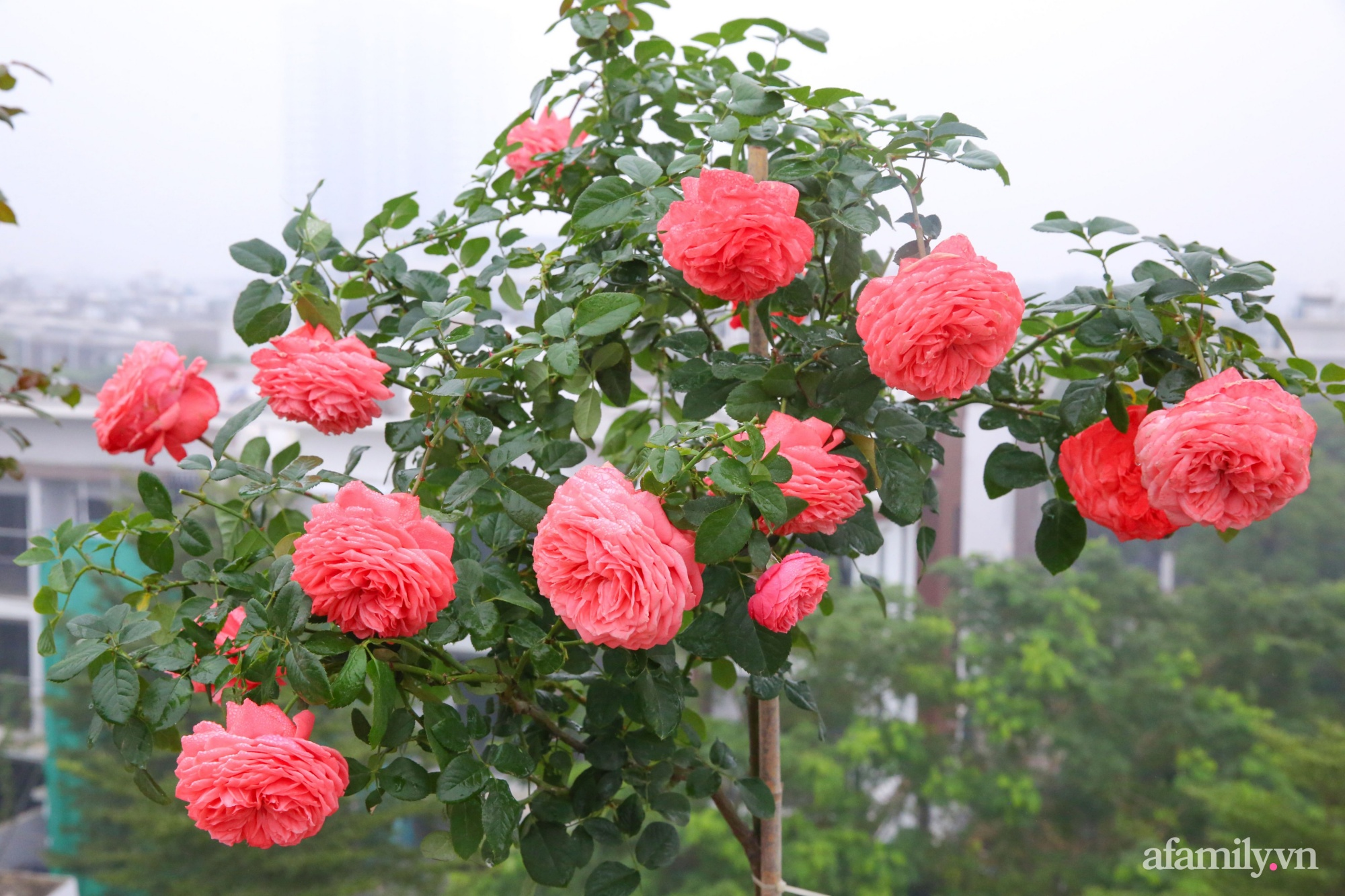 Kinh nghiệm trồng dạ yến thảo nở rực rỡ đủ sắc màu phủ kín mặt tiền nhà phố Hà Nội - Ảnh 18.