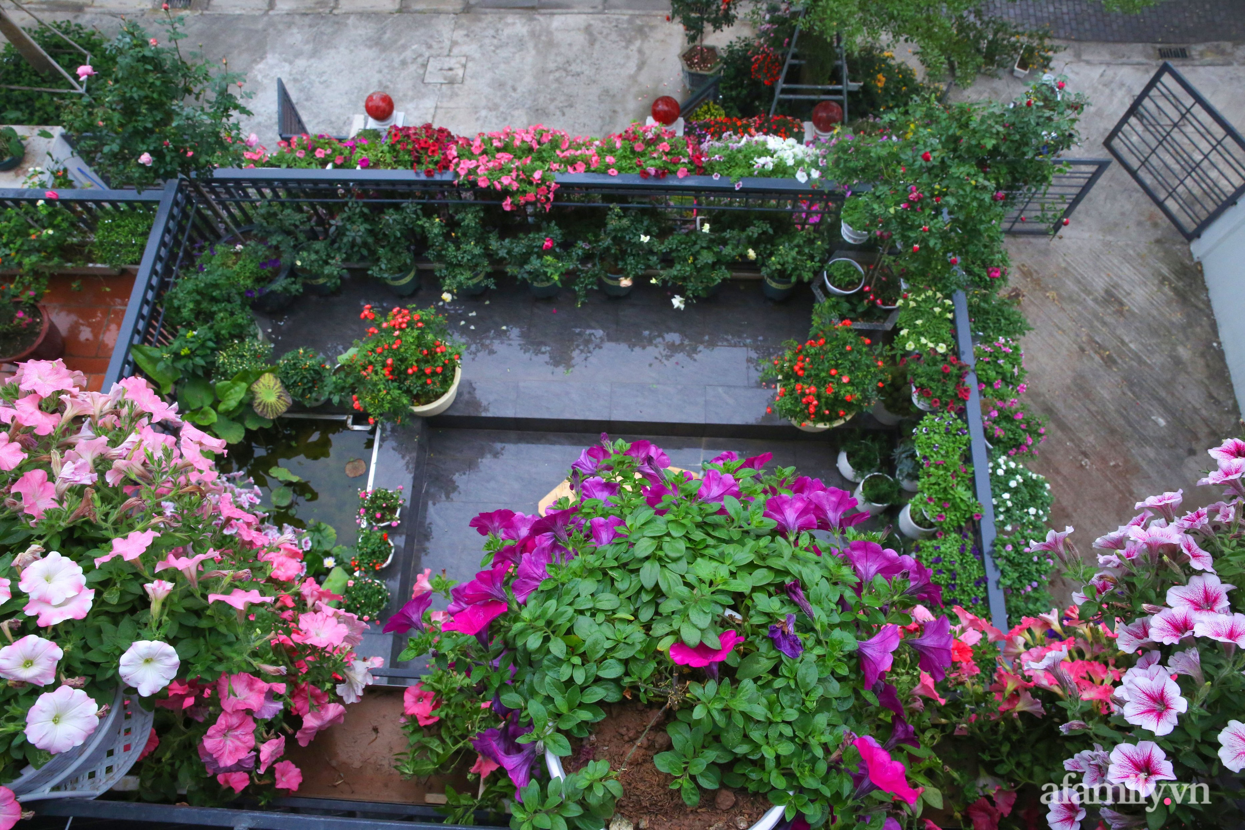 Kinh nghiệm trồng dạ yến thảo nở rực rỡ đủ sắc màu phủ kín mặt tiền nhà phố Hà Nội - Ảnh 6.