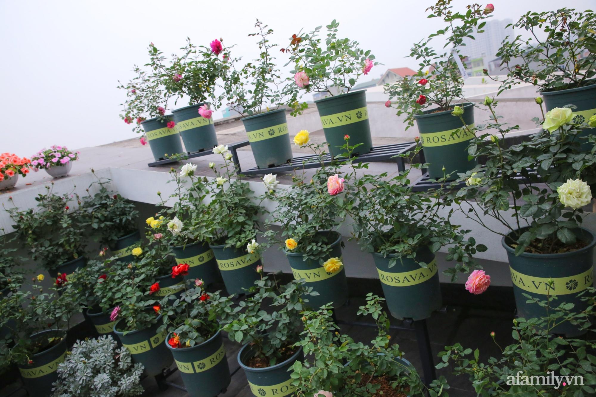 Kinh nghiệm trồng dạ yến thảo nở rực rỡ đủ sắc màu phủ kín mặt tiền nhà phố Hà Nội - Ảnh 15.