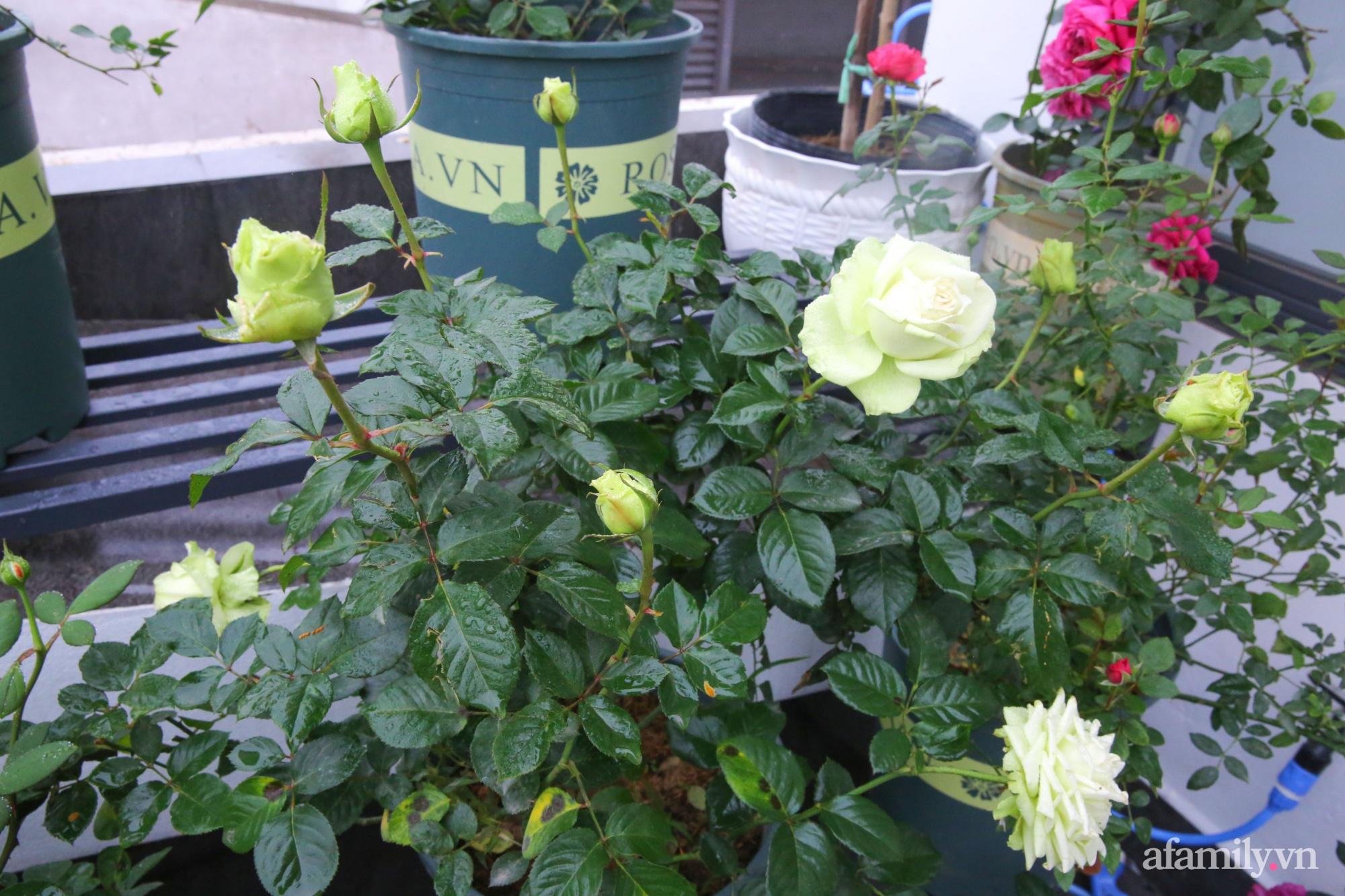 Kinh nghiệm trồng dạ yến thảo nở rực rỡ đủ sắc màu phủ kín mặt tiền nhà phố Hà Nội - Ảnh 20.