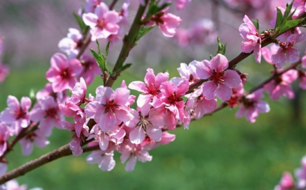 Kinh nghiệm để chọn và chăm sóc hoa đào ngày Tết - Ảnh 3.