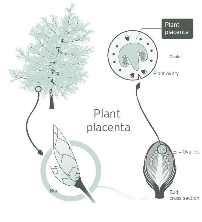 Trẻ hóa làn da với mỹ phẩm chiết xuất từ tế bào gốc noãn thực vật: khái niệm mới mà không mới! - Ảnh 2.