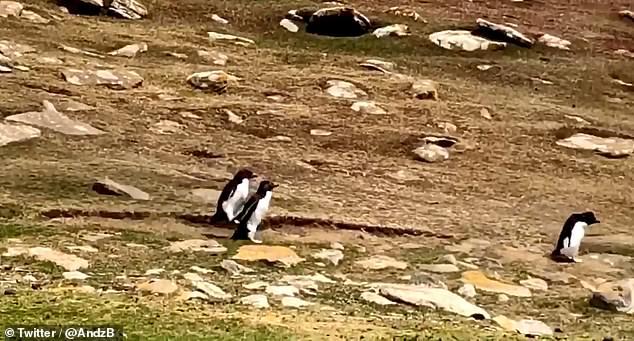 """Cuộc trò chuyện chưa đầy 30 giây gây sốt """"cõi mạng"""" của 2 đàn chim cánh cụt, đáng yêu nhất là màn ngáo ngơ của chúng khúc cuối - Ảnh 6."""