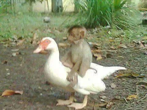 Thấy khỉ bị điện giật vùng vẫy kêu cứu, bạn ngỗng lao vào cứu dẫn đến kết cục bi thảm, câu chuyện phía sau khiến mọi người tuôn trào nước mắt - Ảnh 1.