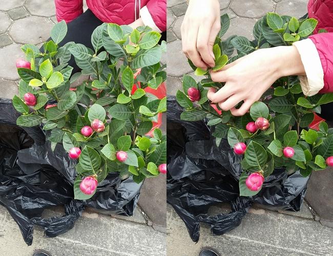 Cảnh giác những cú lừa ngoạn mục của tiểu thương ngày cận Tết: Mua táo bonsai cả nửa triệu về nhà lại nở ra hoa dâm bụt - Ảnh 7.