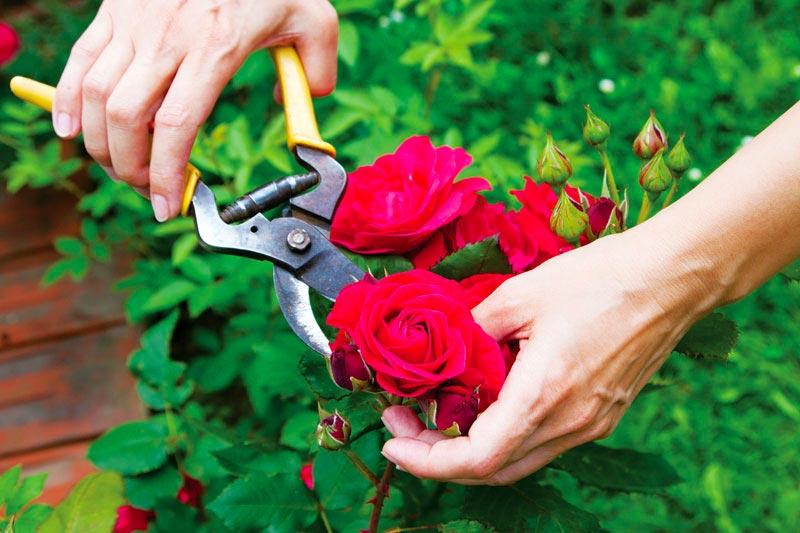 Muốn có một rặng hồng đẹp như mơ thì đừng bao giờ quên 9 mẹo cực quan trọng nhưng lại rất đơn giản này  - Ảnh 7.