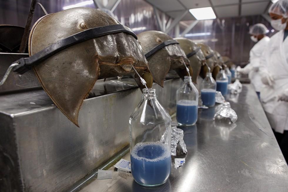 """4 loại chất lỏng của động vật chính là """"mỏ vàng"""", bán đi kiếm được cả núi tiền - Ảnh 3."""