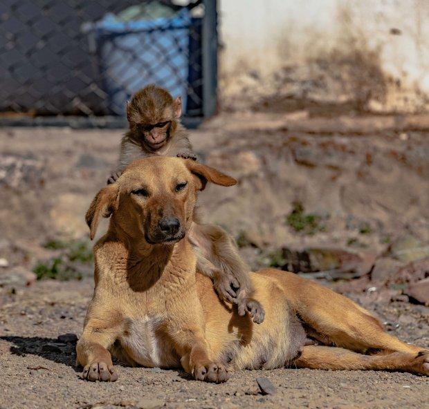 """Đang đi đường tình cờ bắt gặp bộ đôi khỉ chó quấn quýt, nhiếp ảnh gia tìm hiểu càng ngỡ ngàng hơn với mối quan hệ """"mẹ con"""" lạ đời của chúng - Ảnh 1."""