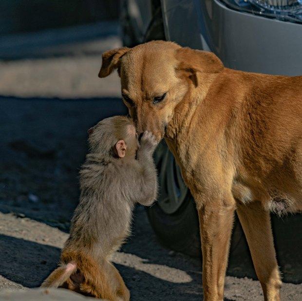 """Đang đi đường tình cờ bắt gặp bộ đôi khỉ chó quấn quýt, nhiếp ảnh gia tìm hiểu càng ngỡ ngàng hơn với mối quan hệ """"mẹ con"""" lạ đời của chúng - Ảnh 4."""