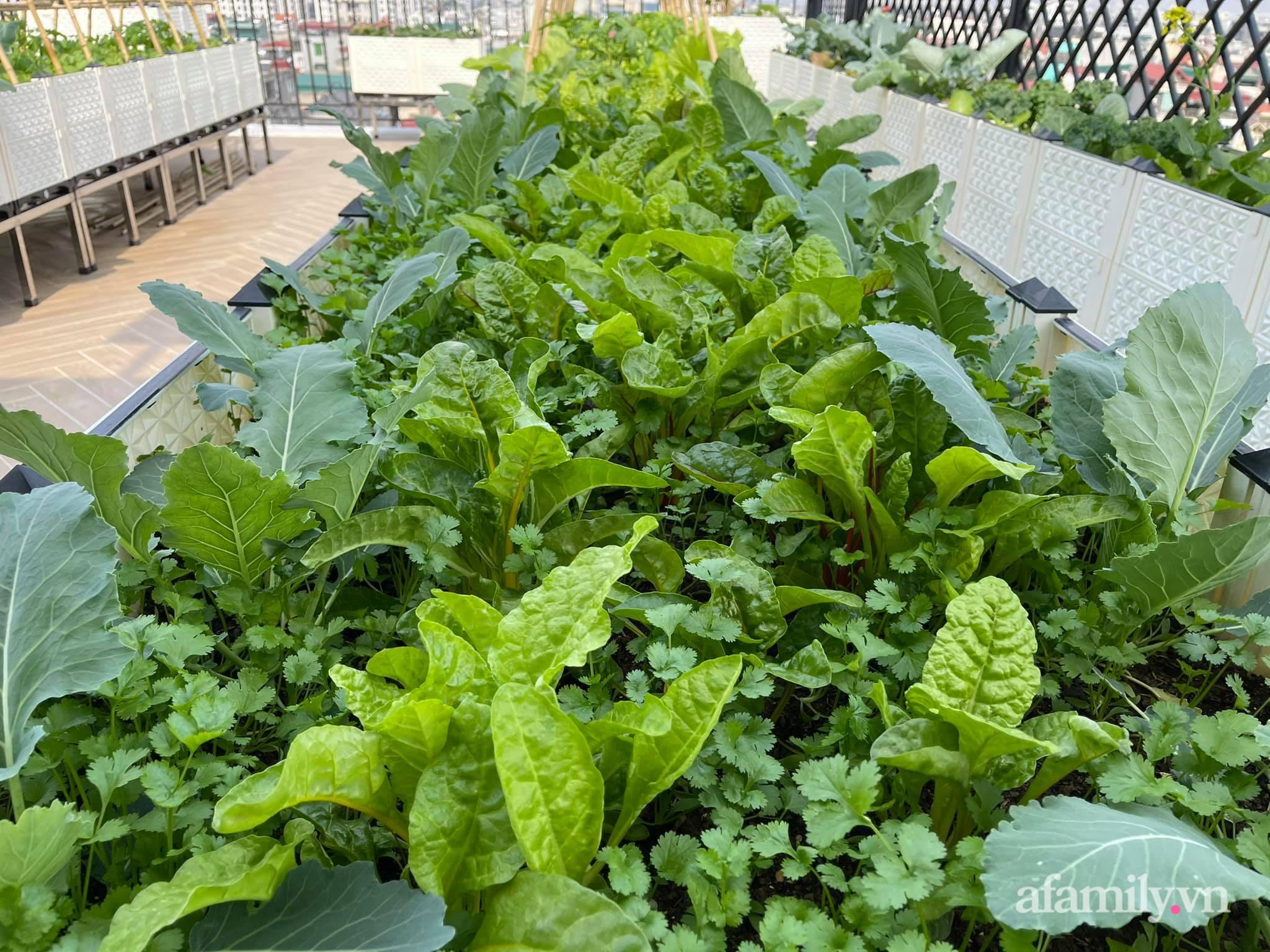 Sân thượng 83m² phủ kín rau quả sạch chỉ sau gần 1 tháng gieo trồng của cô giáo về hưu ở Hà Nội - Ảnh 4.