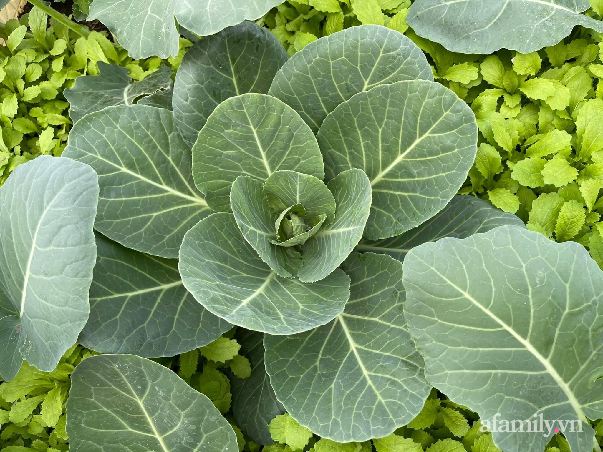 Sân thượng 83m² phủ kín rau quả sạch chỉ sau gần 1 tháng gieo trồng của cô giáo về hưu ở Hà Nội - Ảnh 11.