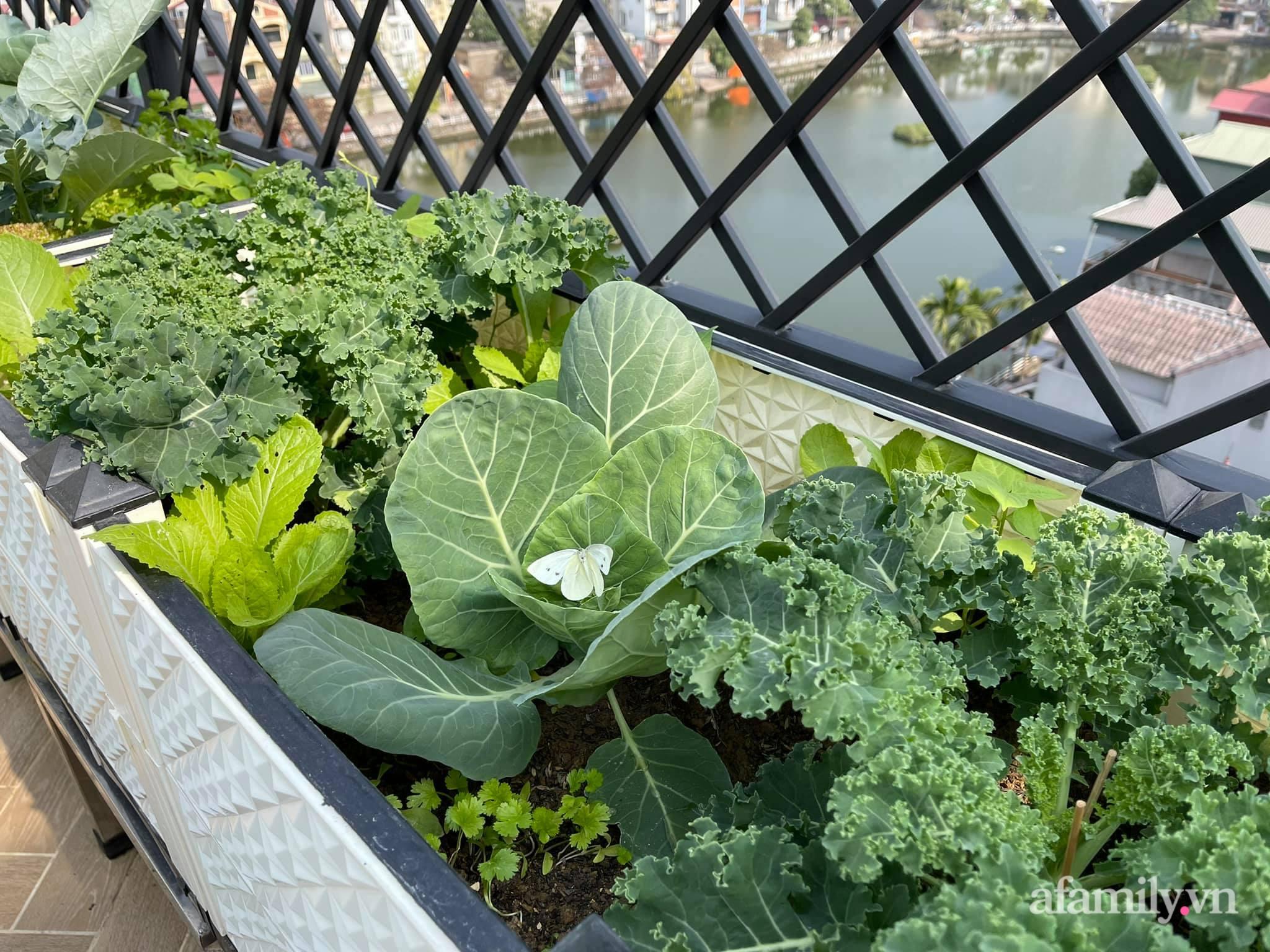 Sân thượng 83m² phủ kín rau quả sạch chỉ sau gần 1 tháng gieo trồng của cô giáo về hưu ở Hà Nội - Ảnh 3.