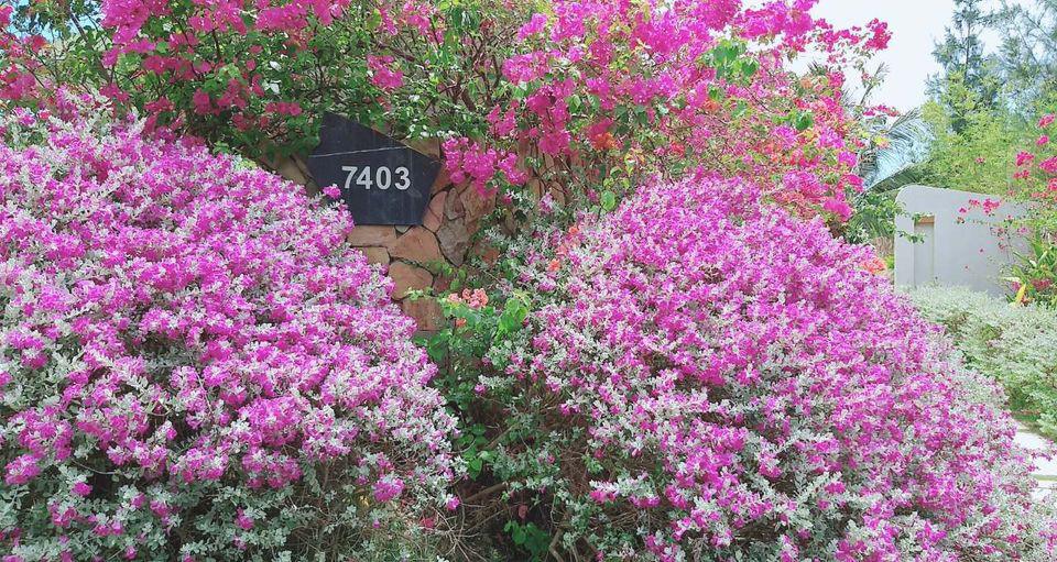 Giáng hương, tuyết sơn phi hồng và những mùa hoa đẹp ngây ngất tại chuỗi quần thể FLC - Ảnh 7.