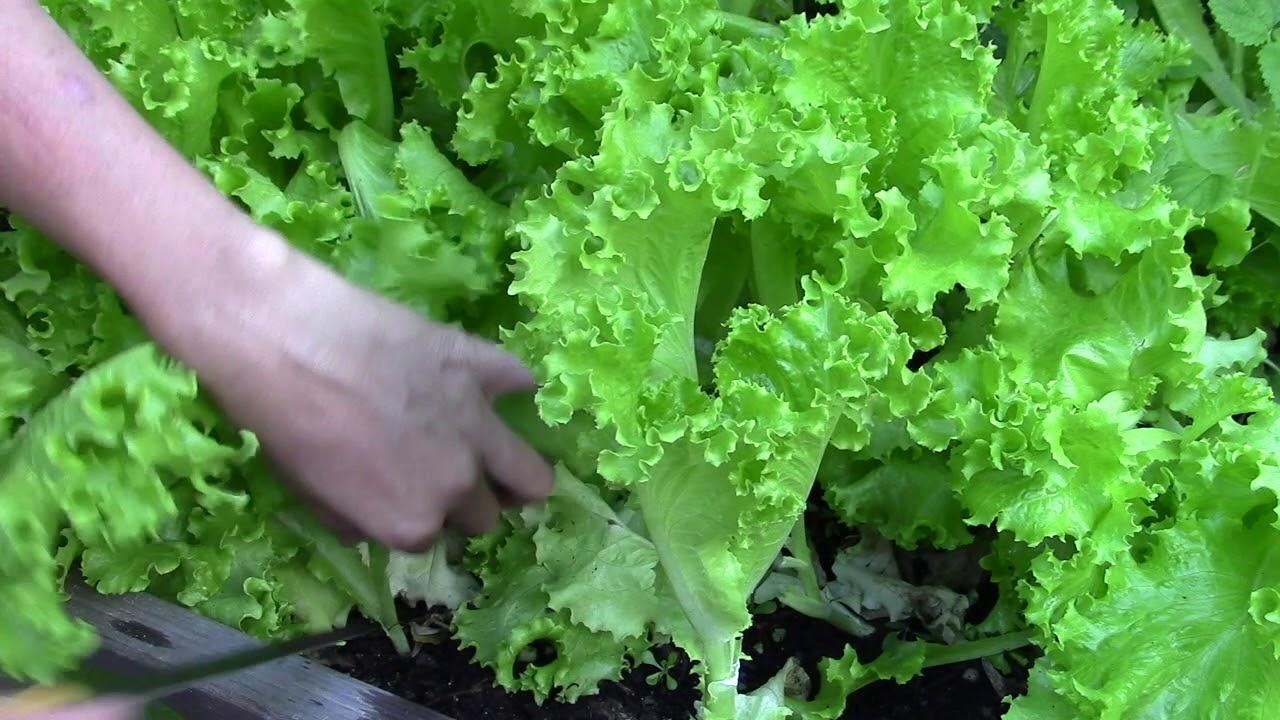 10 loại rau thích hợp để bạn có thể trồng vào tháng 4  - Ảnh 6.