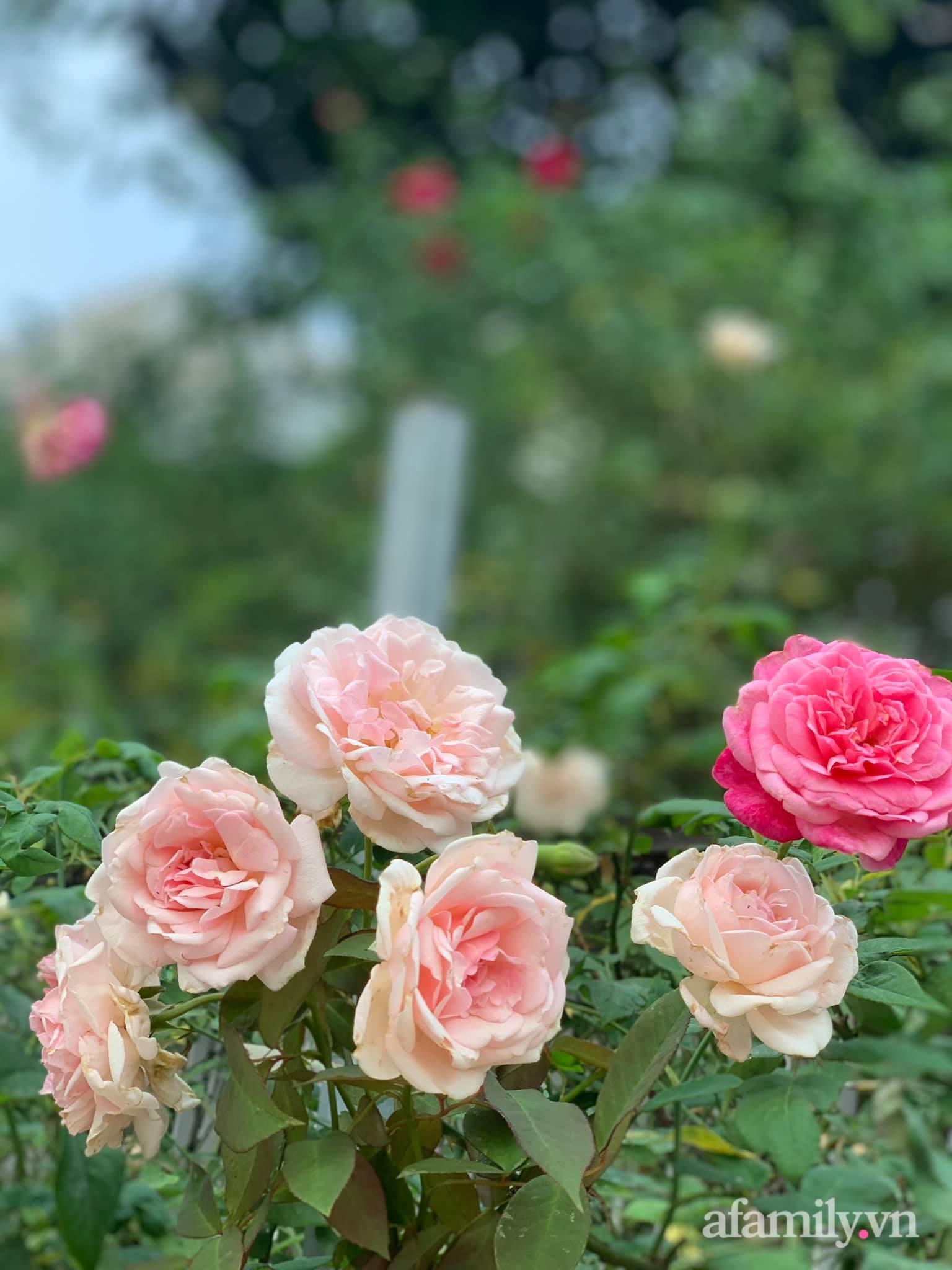 Người đàn ông dành cả bốn mùa phủ kín hoa rực rỡ quanh nhà ở Hà Nội - Ảnh 8.