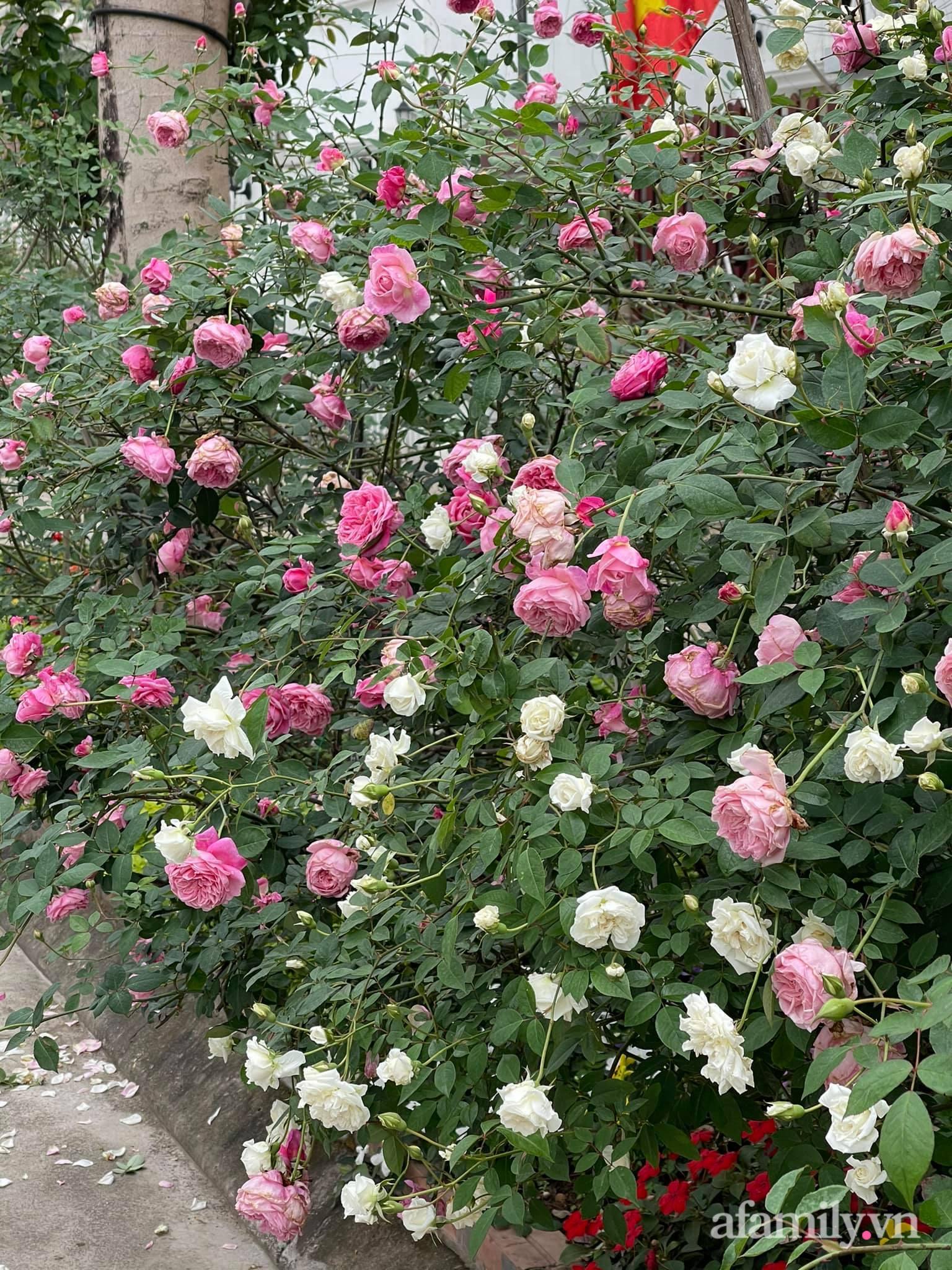 Người đàn ông dành cả bốn mùa phủ kín hoa rực rỡ quanh nhà ở Hà Nội - Ảnh 9.