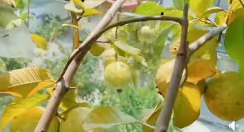 """Lý Hải - Minh Hà trồng cây trên sân thượng mà thu hoạch nặng trĩu tay, phải đăng đàn ai ăn thì biếu bớt """"lấy thảo"""" - Ảnh 3."""