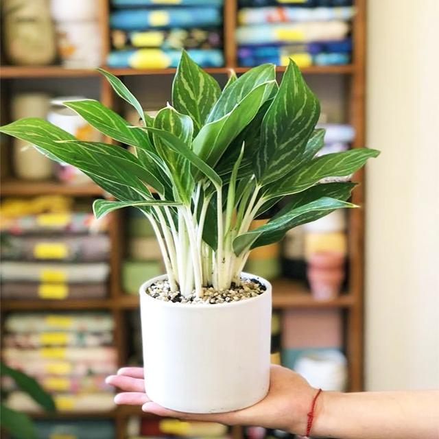 Mệnh kim nên bày những loại cây nào trong nhà thì hợp phong thủy? - Ảnh 2.