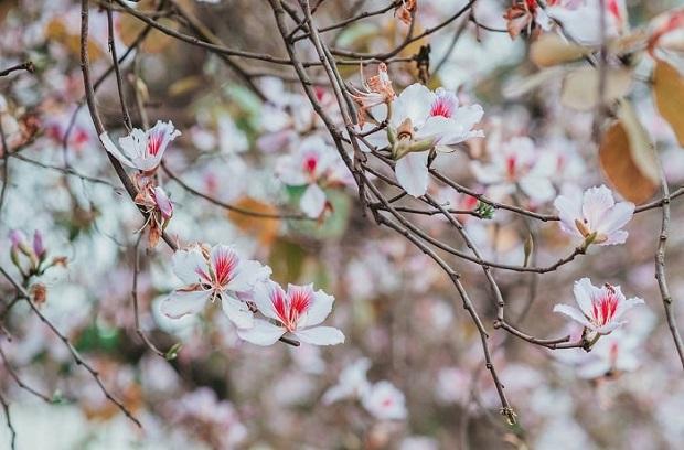 Hoa ban bừng nở cả thủ đô: Hóa ra loại hoa này còn có thể làm thuốc chữa bệnh cực hay! - Ảnh 1.