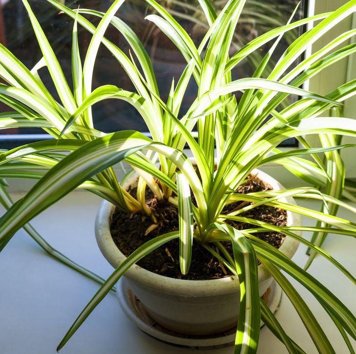 Những loại cây ít cần chăm sóc nhưng vẫn tươi xanh, đẹp mắt khi trồng trong nhà - Ảnh 10.