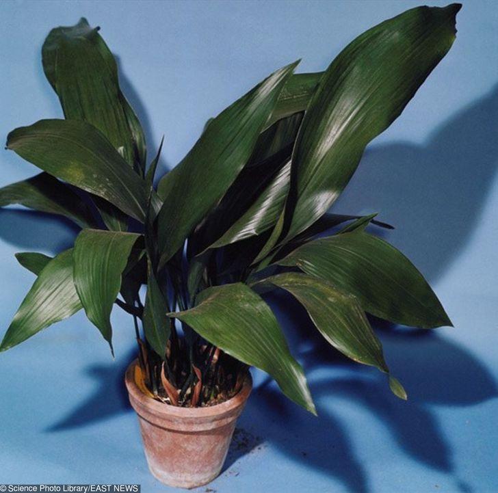 Những loại cây ít cần chăm sóc nhưng vẫn tươi xanh, đẹp mắt khi trồng trong nhà - Ảnh 8.