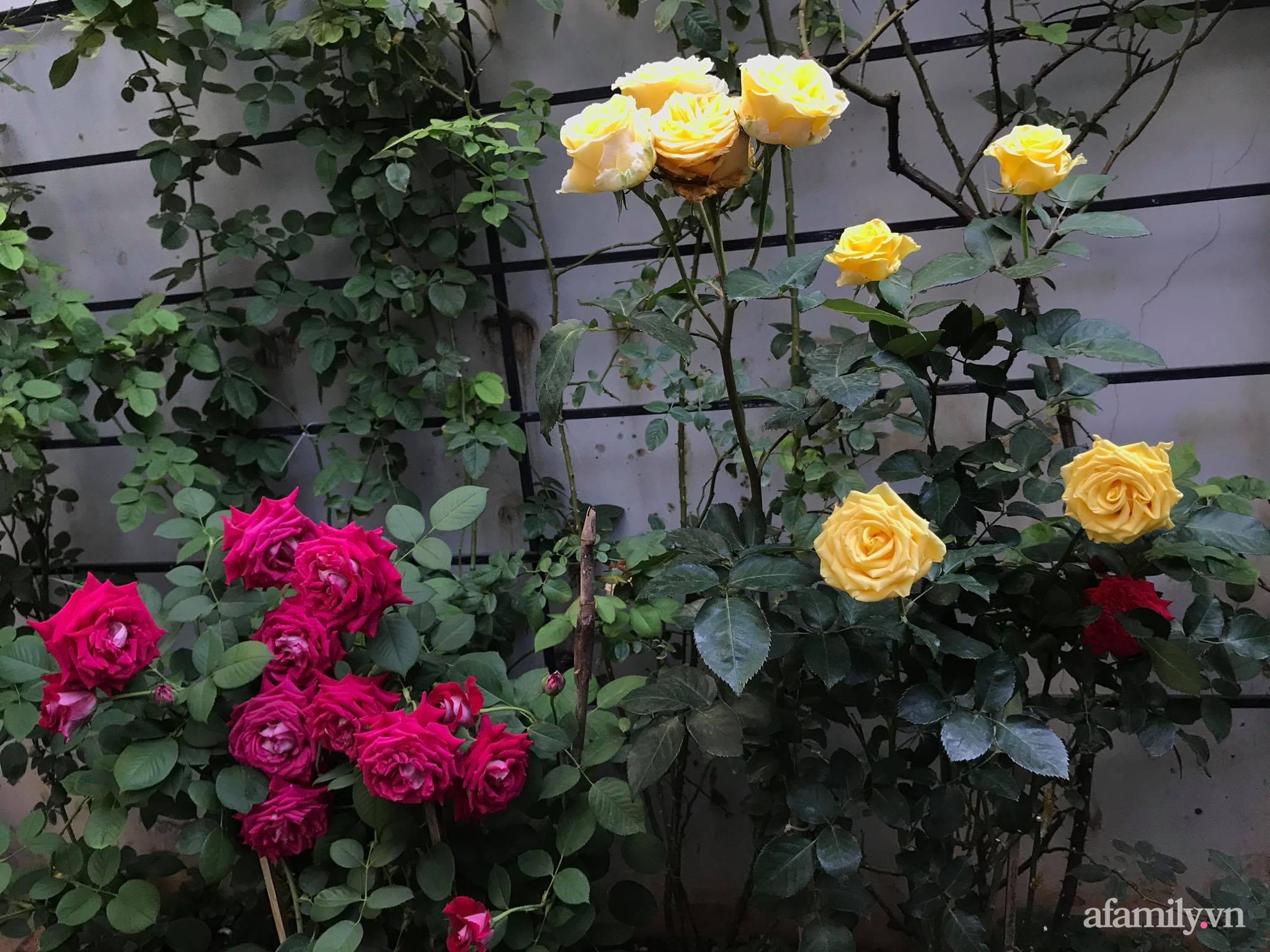 Vườn hồng rực rỡ tỏa sắc hương trước sân nhà đón hè sang của cặp vợ chồng trẻ Sải Gòn - Ảnh 10.