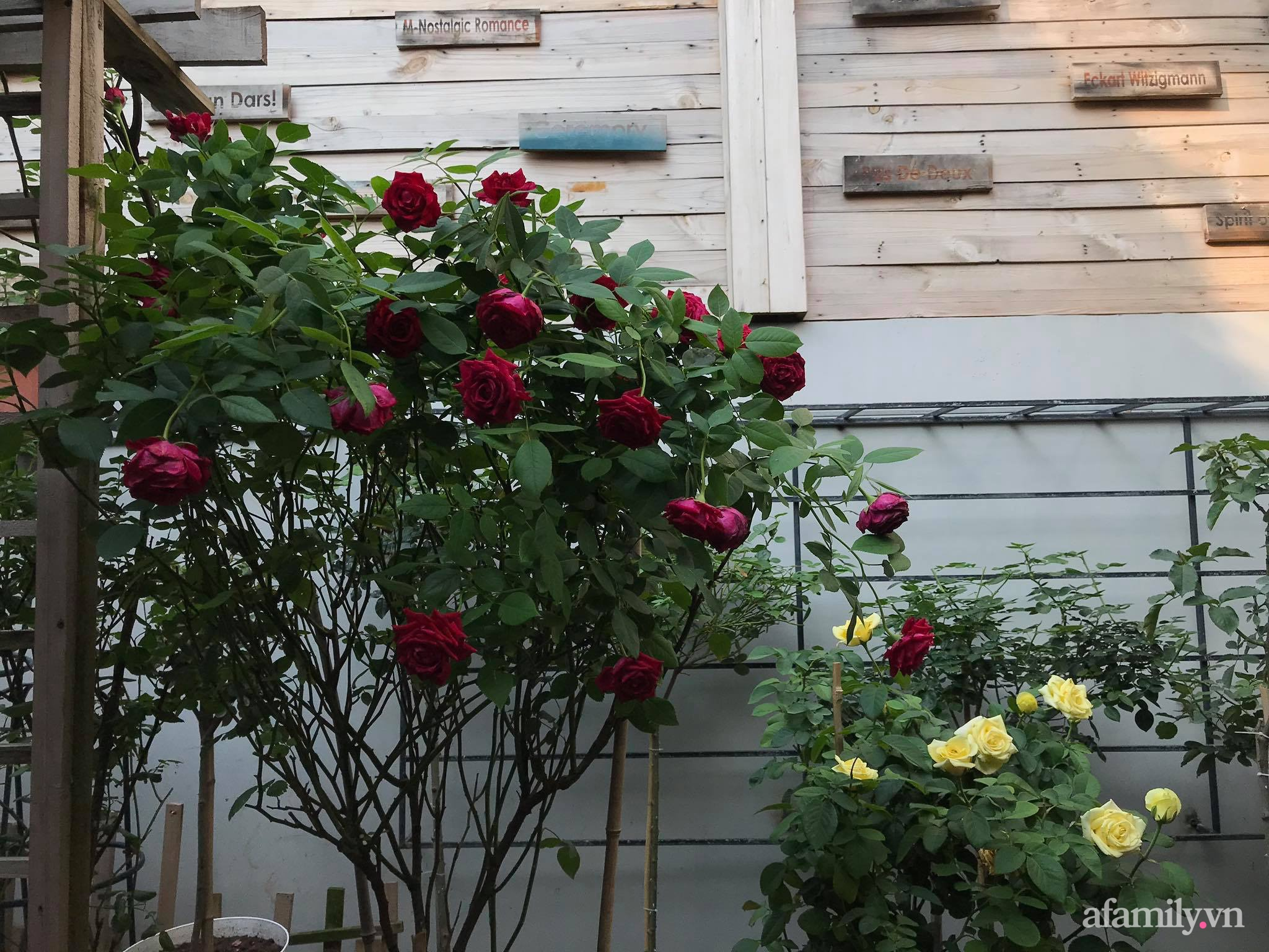 Vườn hồng rực rỡ tỏa sắc hương trước sân nhà đón hè sang của cặp vợ chồng trẻ Sải Gòn - Ảnh 11.