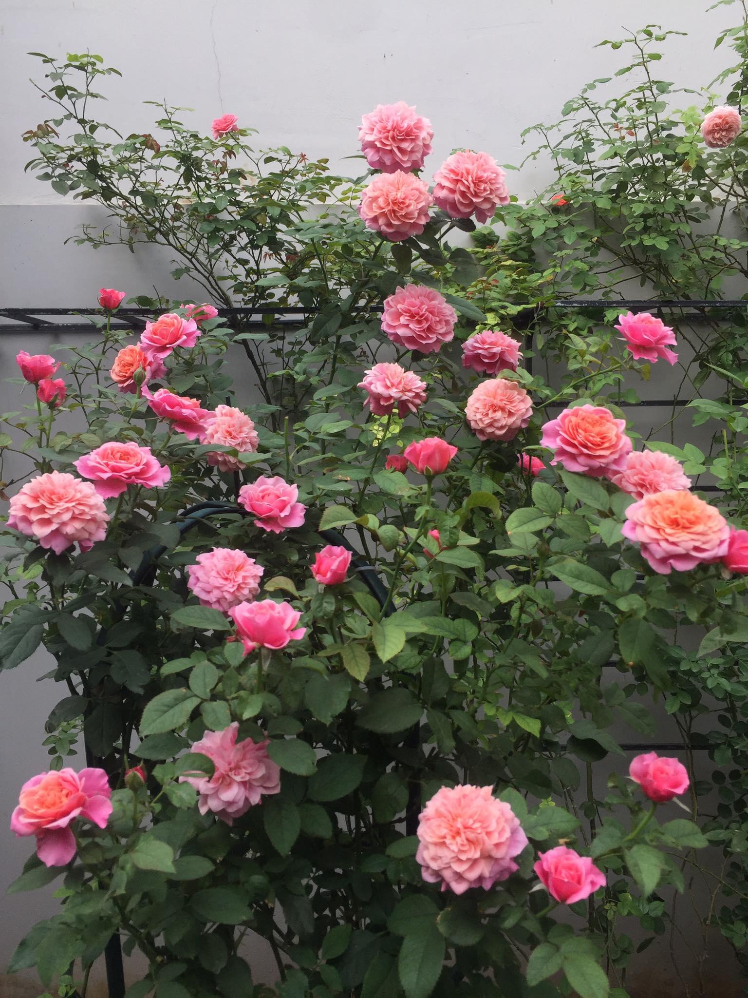 Vườn hồng rực rỡ tỏa sắc hương trước sân nhà đón hè sang của cặp vợ chồng trẻ Sải Gòn - Ảnh 13.