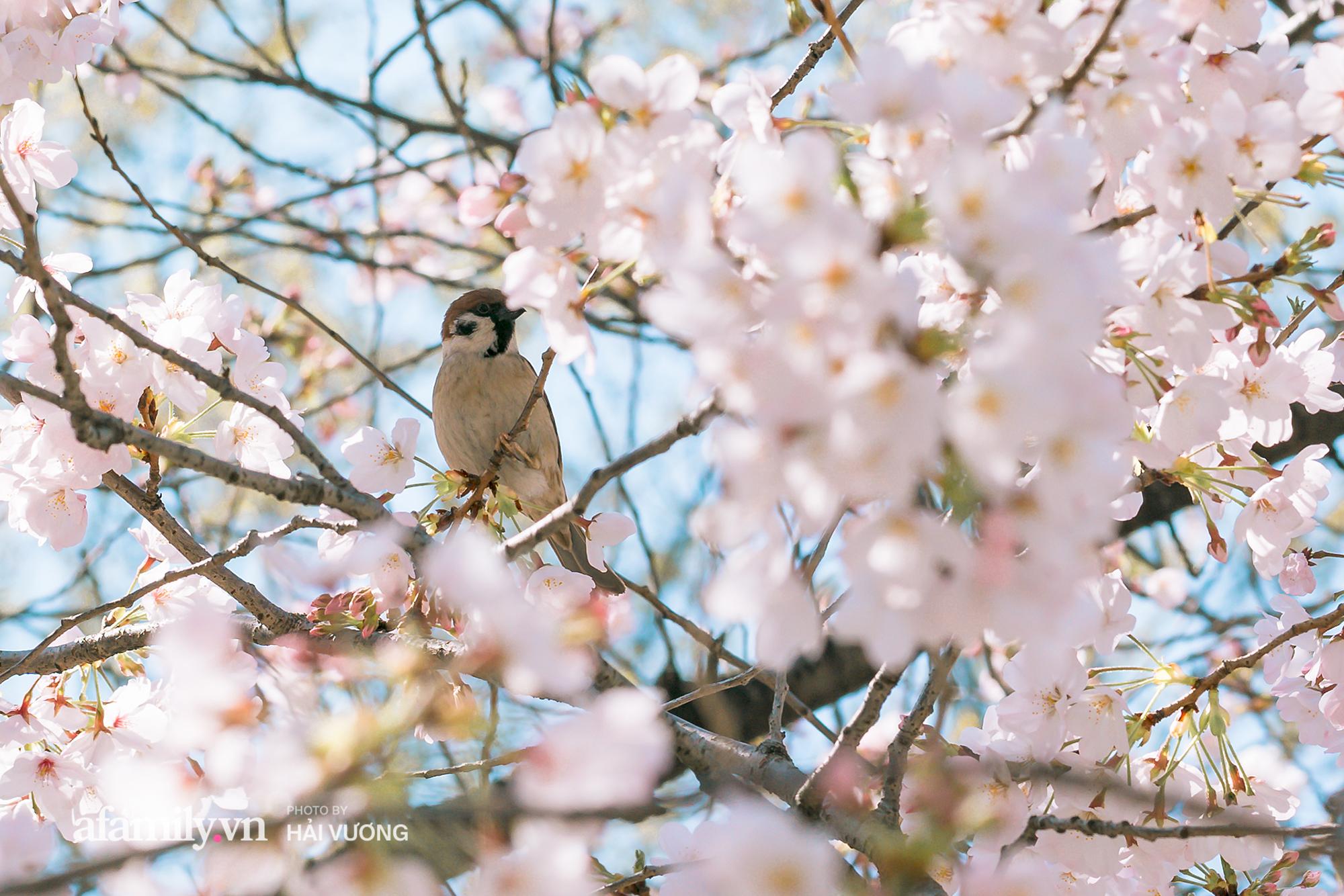 Đẹp ngây ngất cảnh tượng toàn bộ thủ đô Tokyo được bảo trùm trong sắc hoa anh đào nở sớm nhất trong 1.200 năm - Ảnh 5.