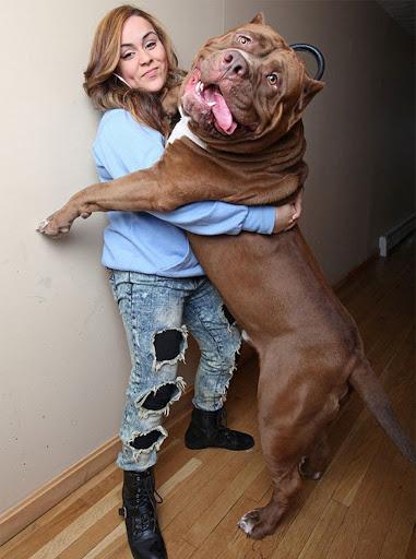 Từ vụ chó cắn chết người vừa xảy ra: Cần làm gì để ứng phó với chó pitbull đang nổi điên? - Ảnh 3.