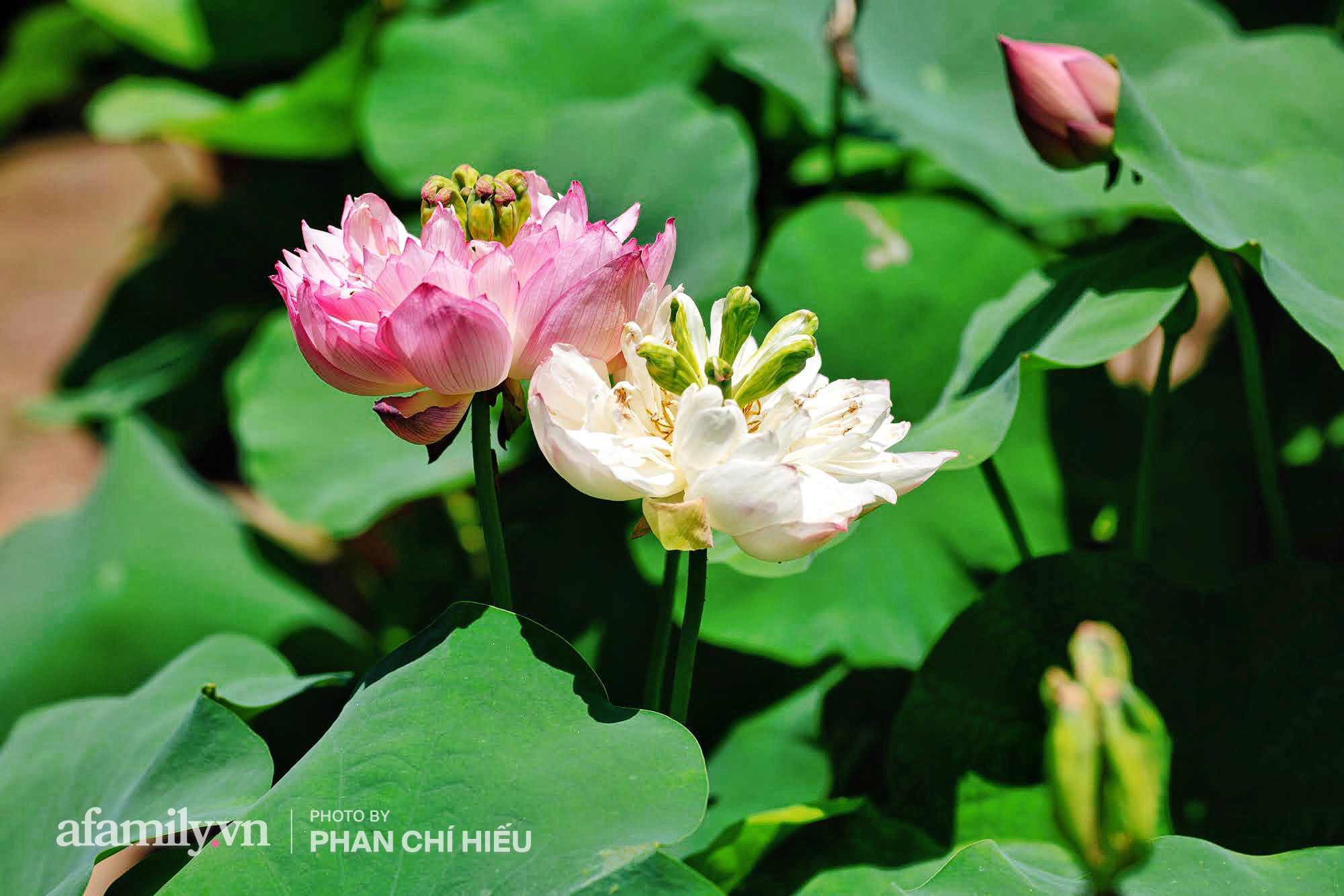 Độc đáo với thú chơi sen cung đình Huế tại Hà Nội, nở hoa tuyệt đẹp giữa ngôi nhà cổ trăm năm tuổi khiến bao người mê mẩn - Ảnh 2.