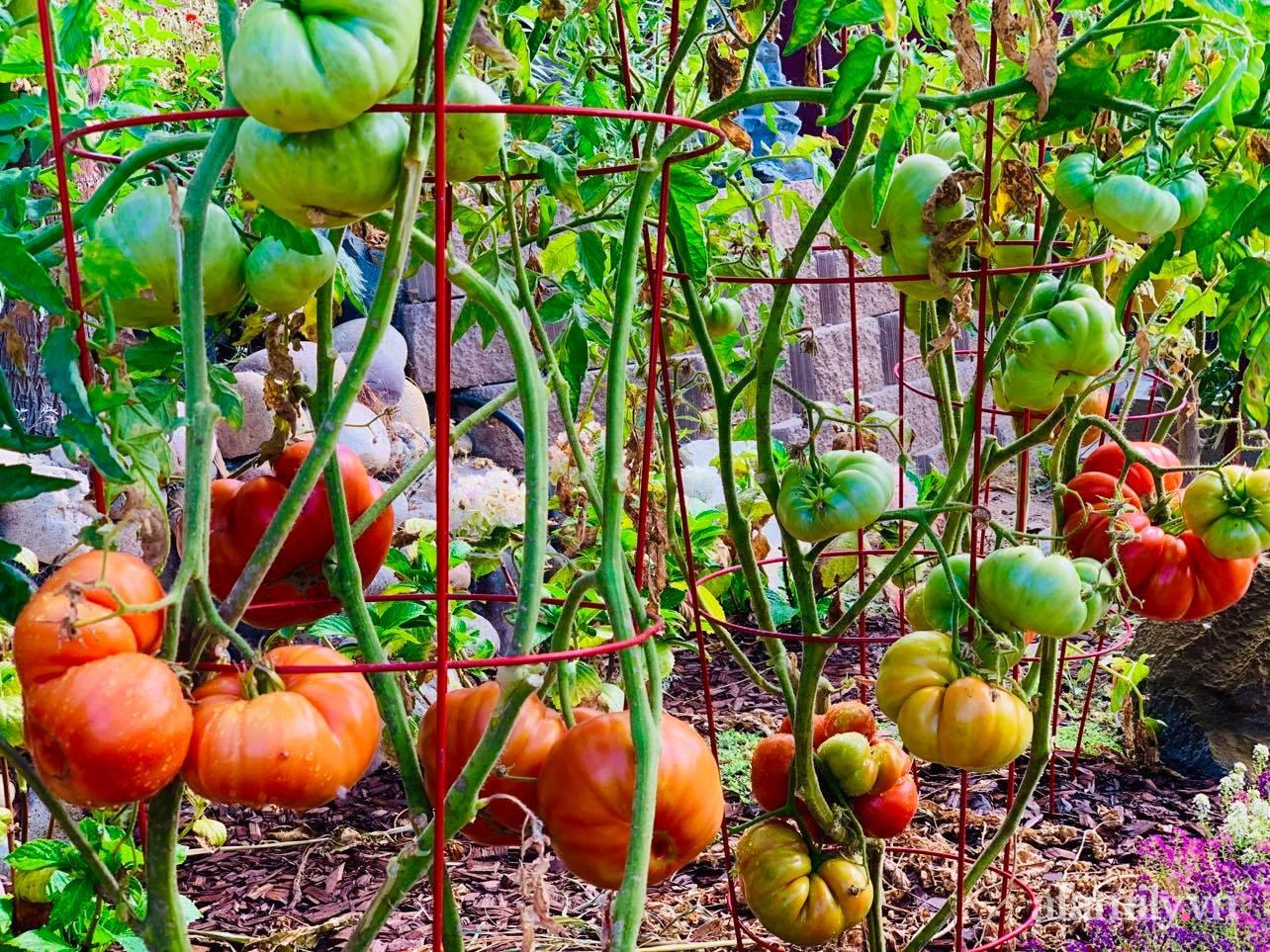 Khu vườn 800m² phủ kín đủ loại rau quả sạch của mẹ Việt đảm yêu cây - Ảnh 11.