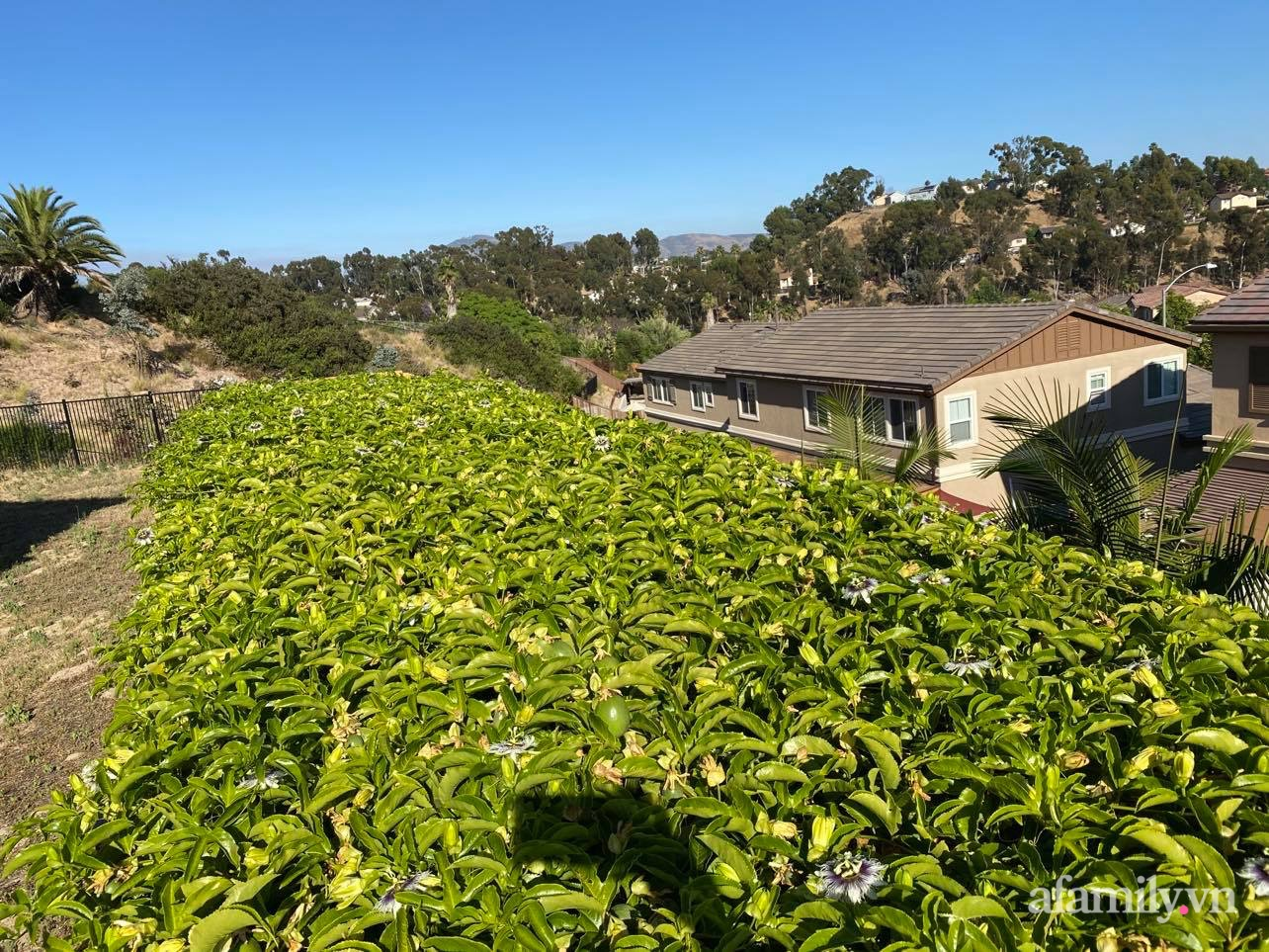Khu vườn 800m² phủ kín đủ loại rau quả sạch của mẹ Việt đảm yêu cây - Ảnh 8.