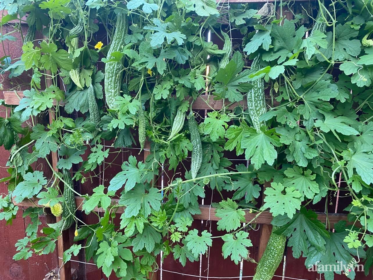Khu vườn 800m² phủ kín đủ loại rau quả sạch của mẹ Việt đảm yêu cây - Ảnh 7.