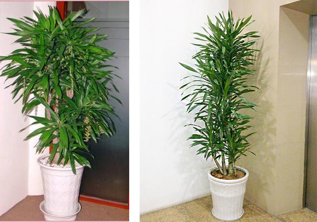 3 loại cây cảnh phong thủy rất thích hợp để bạn trồng trong phòng khách - Ảnh 5.